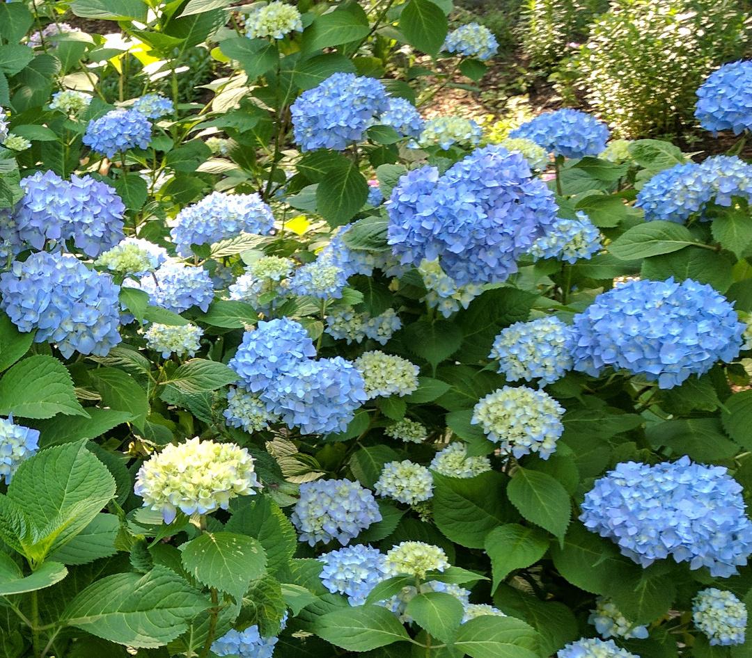 close up of blue bigleaf hydrangea
