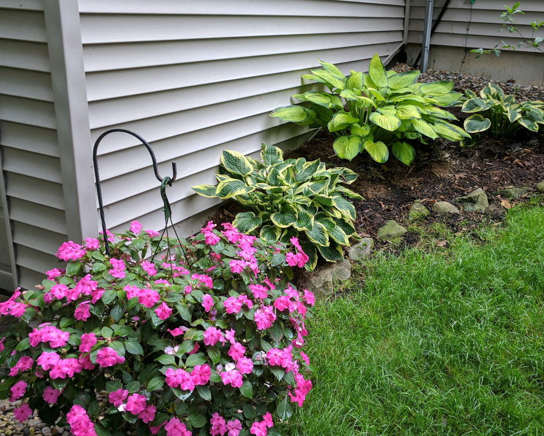 shady garden bed with hostas and impatiens