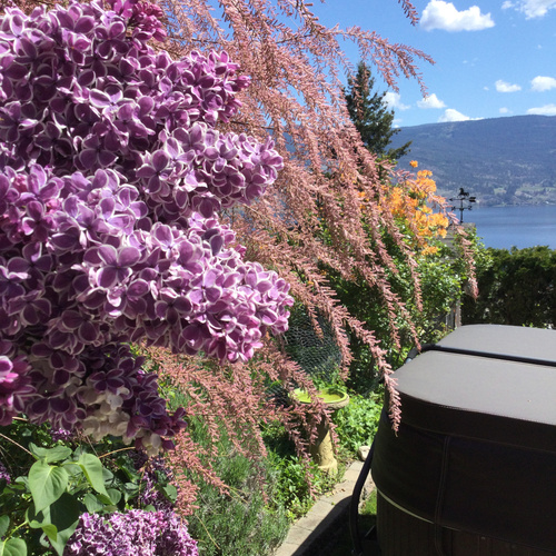 lilac and other spring blooms in front of water