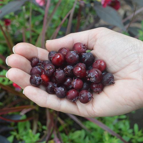 Serviceberry berries
