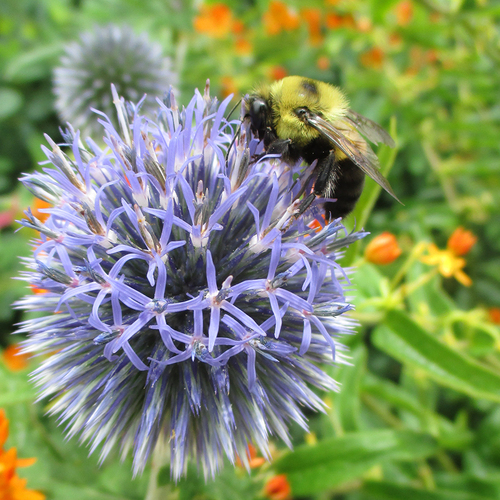 bee on southern globe thistle flower