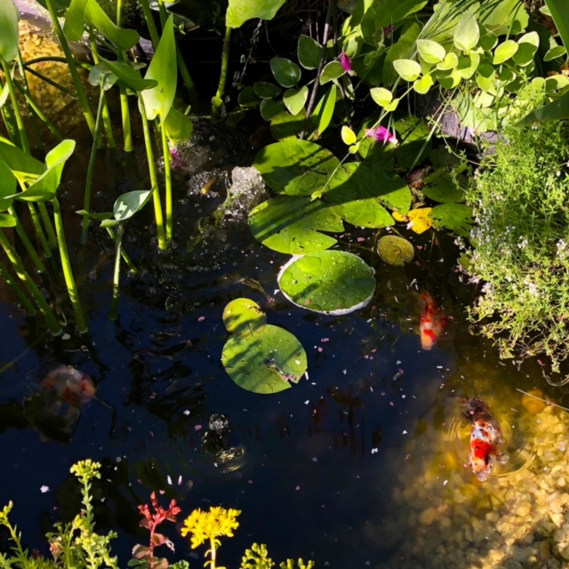 goldfish in a pond with lily pads