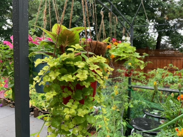 plants in homemade hanging baskets