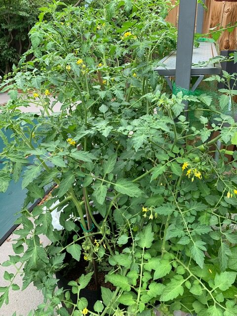 tomato plant growing in a container