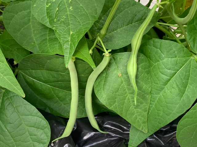 ripe green beans ready to be picked