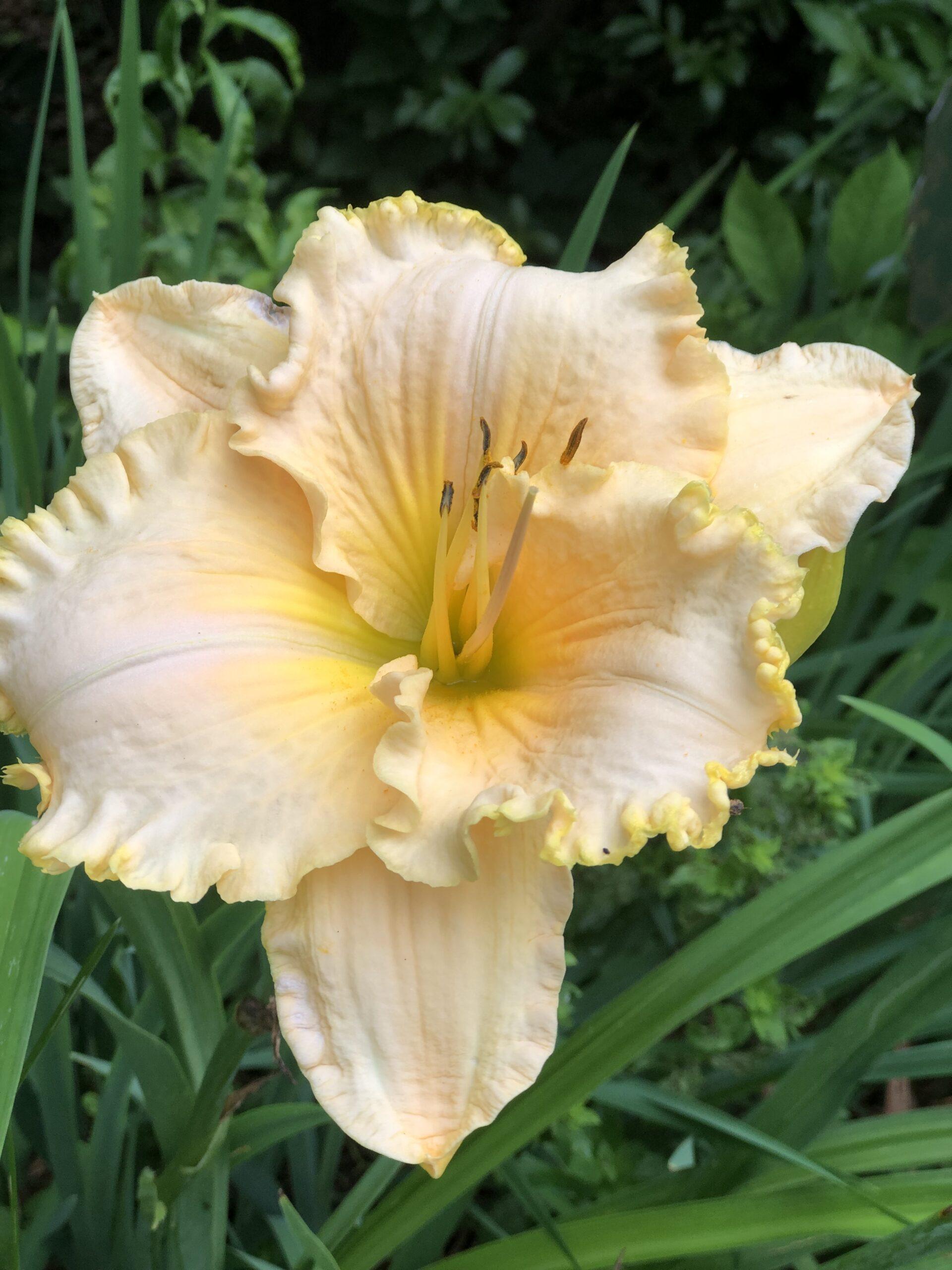 daylily with light orange ruffled flowers