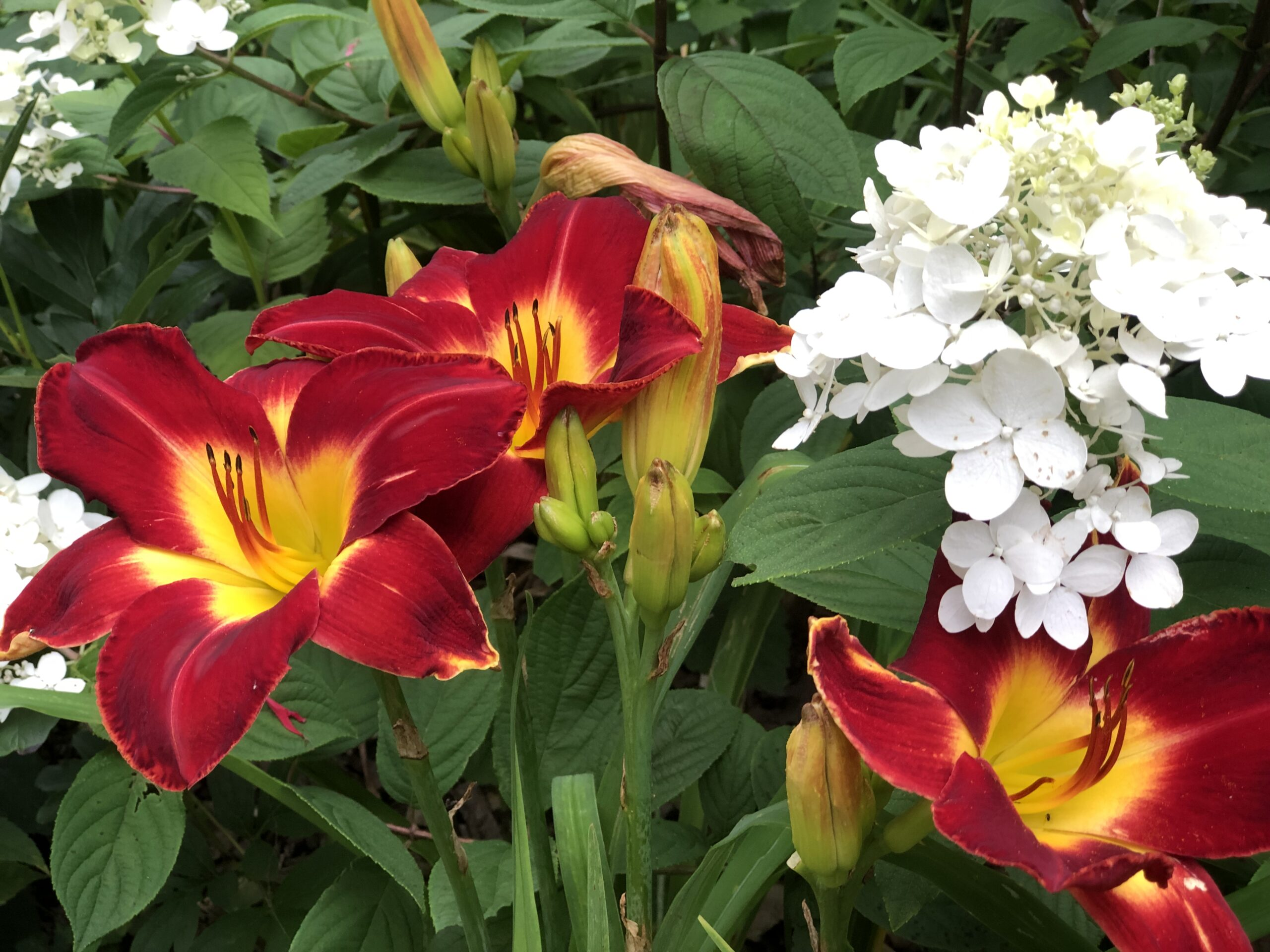 bright red daylily and a panicle hydrangea