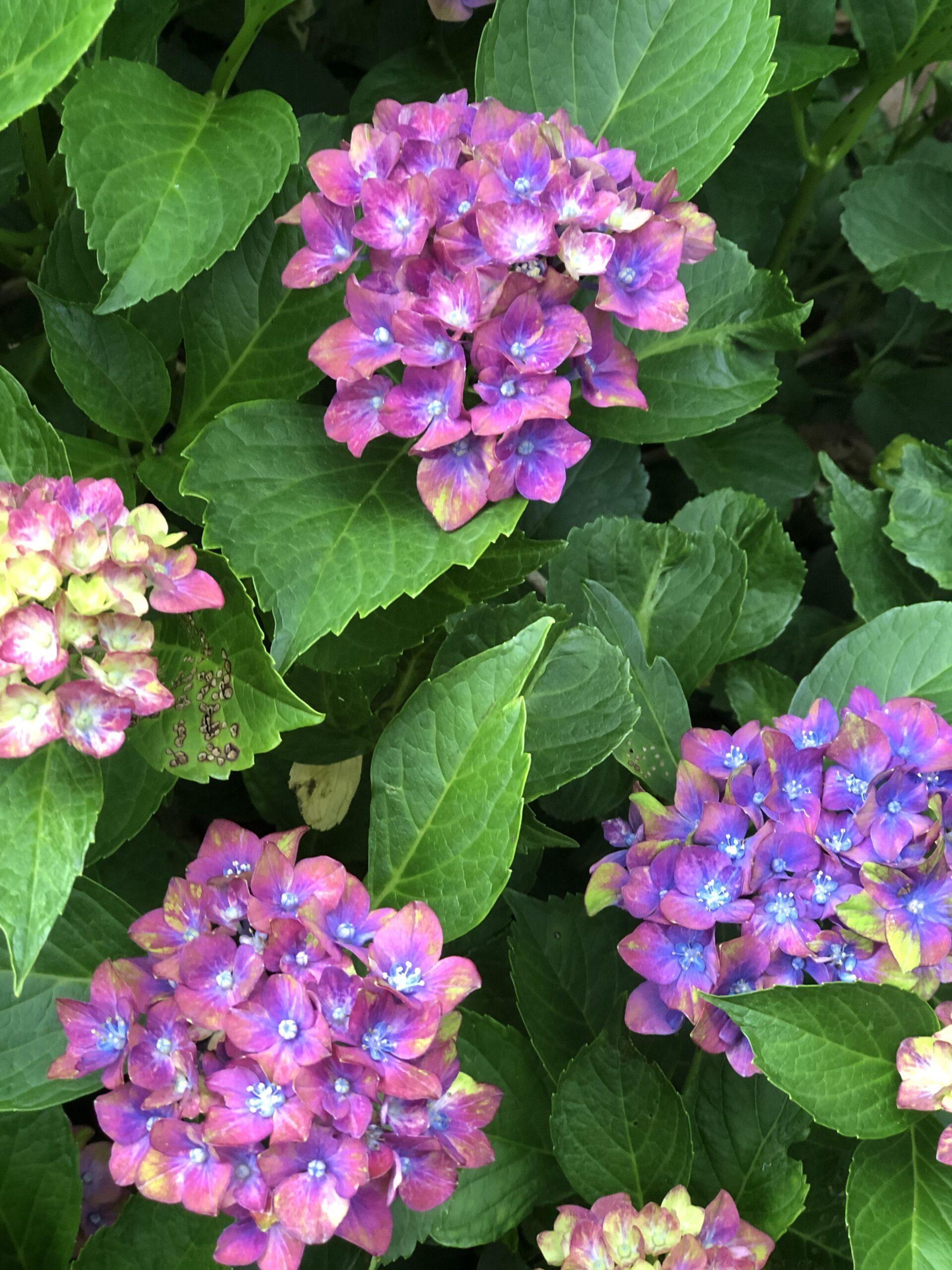 bigleaf hydrangea with multicolored blooms