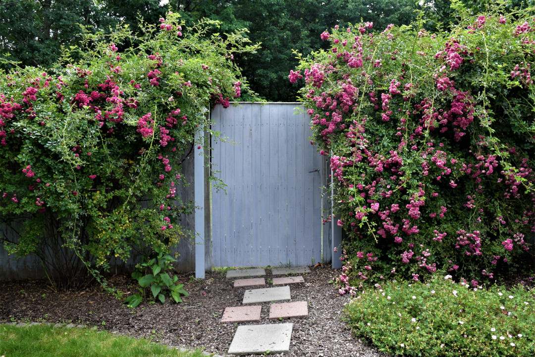 garden fence with gate covered in rambling rose