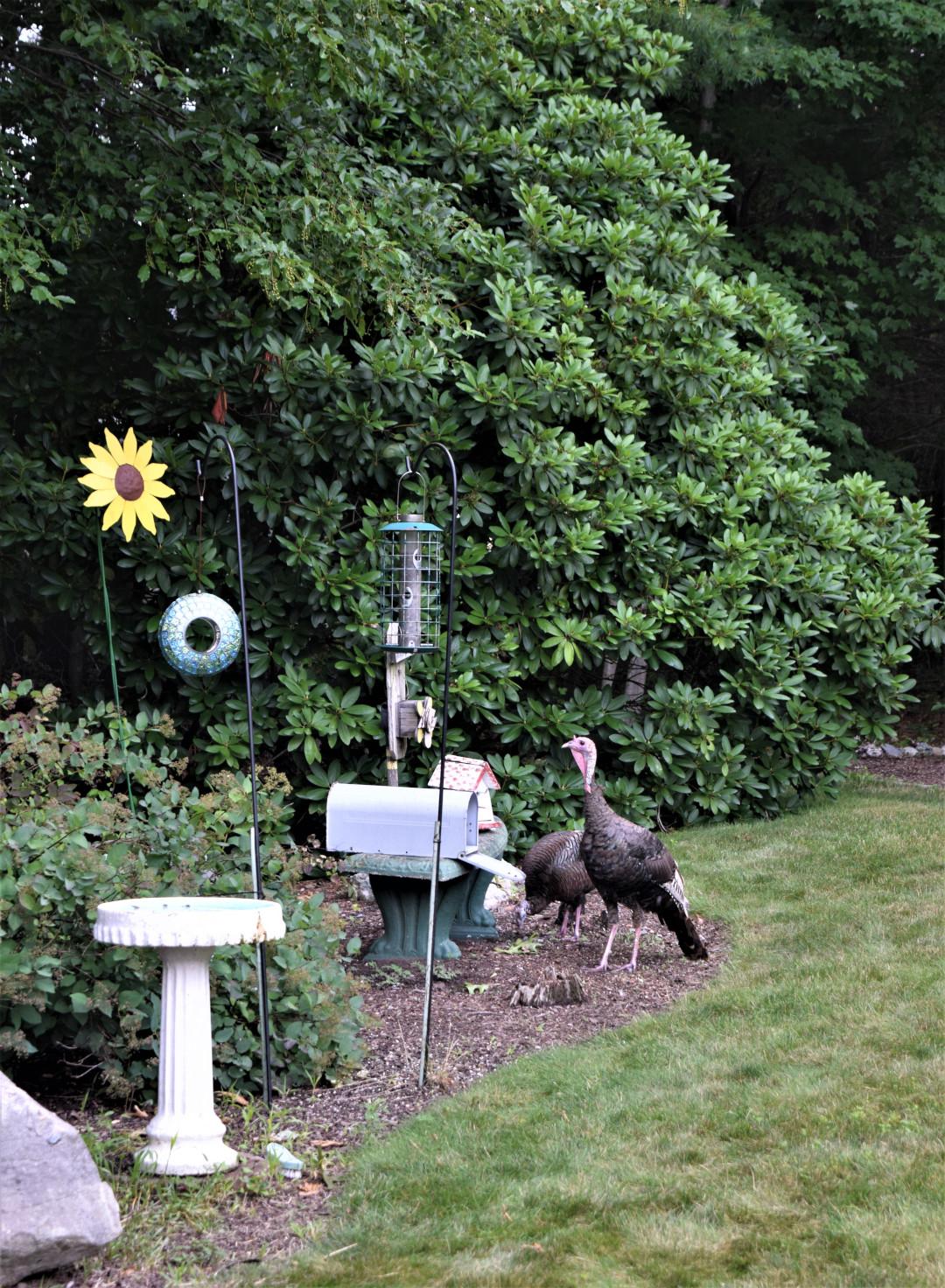 Wild turkeys in a garden