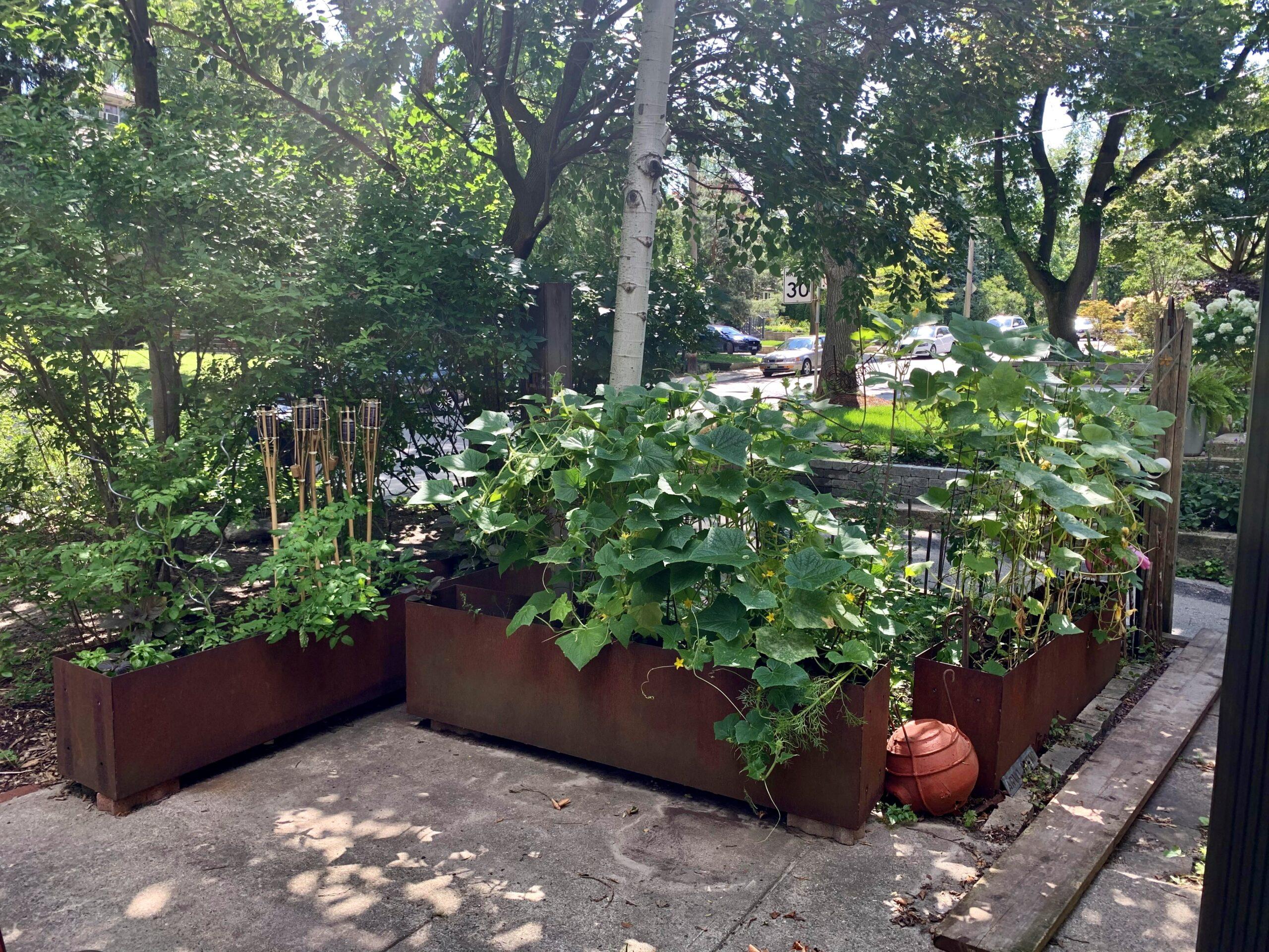 veggie garden with rusted steel planters