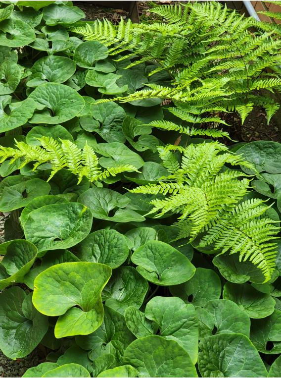 wild ginger next to a fern
