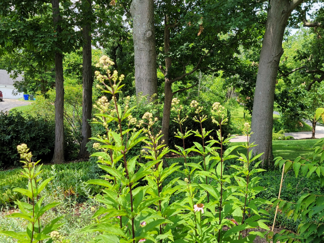 Joe Pye weed in front of tall trees