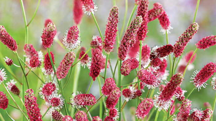 Burnets are Tough and Beautiful Plants