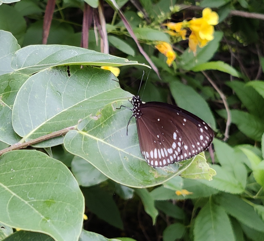 black butterfly with white spots resting on a plant
