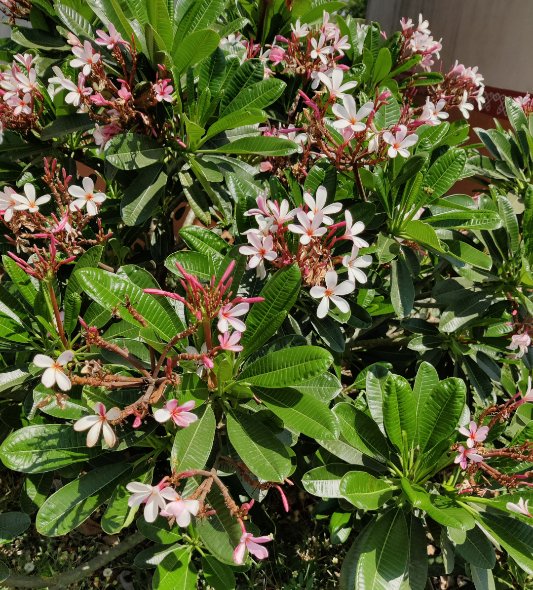plant with small light pink flowers and shiny foliage