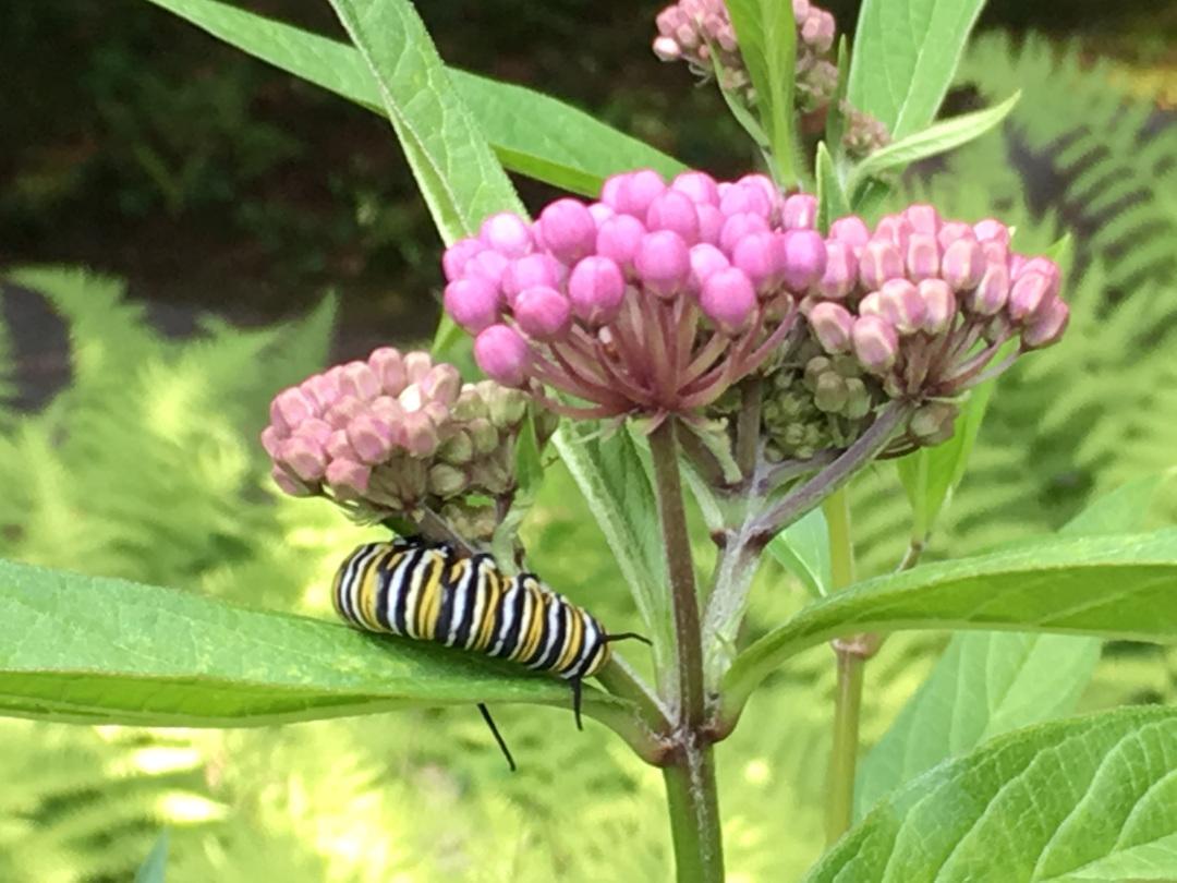 caterpillar eating a milkweed plant