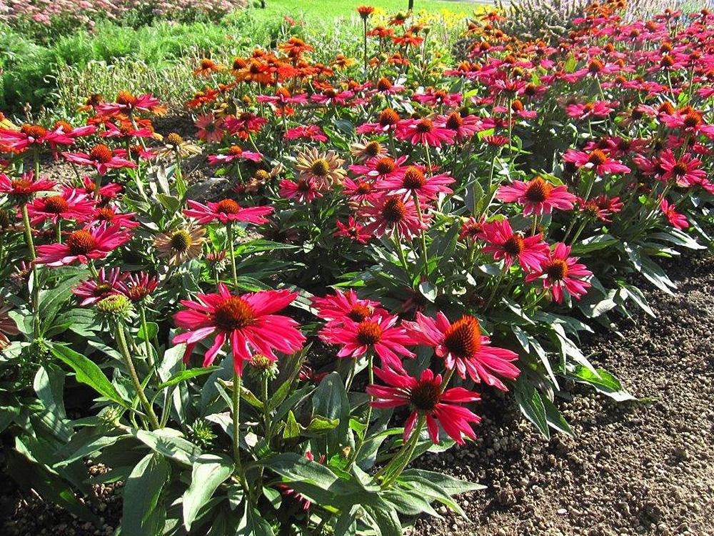 Kismet Raspberry Cone Flower