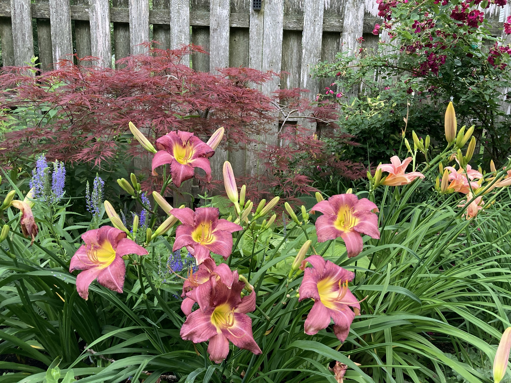 Dusty pink daylily in front of a small Japanese maple tree