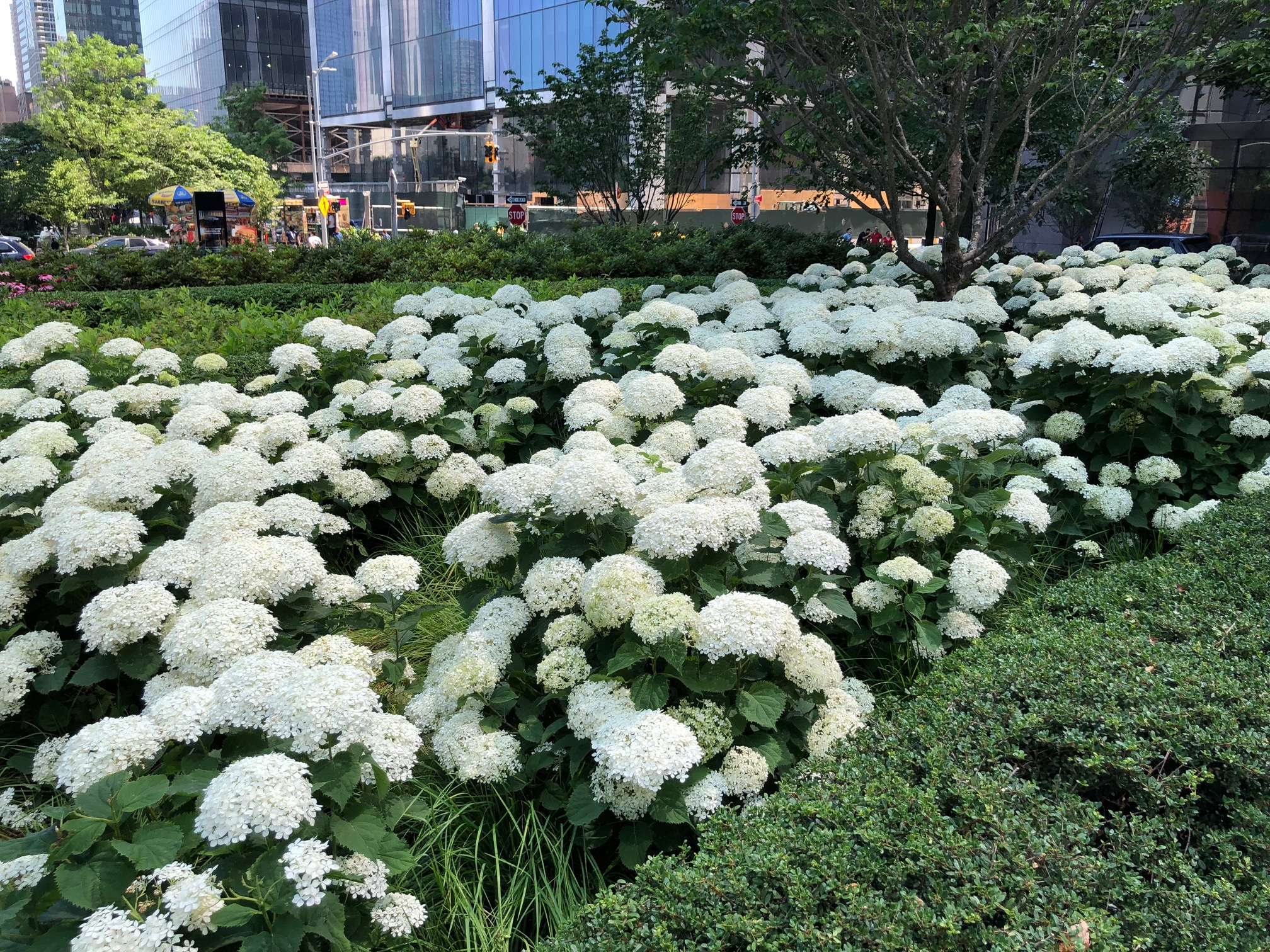 mass planting of smooth hydrangea in the city