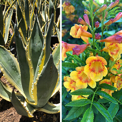 plant combos for the southwest