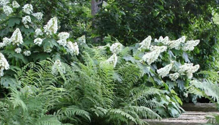 Alice oakleaf hydrangea