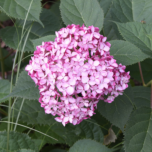 pink smooth hydrangea