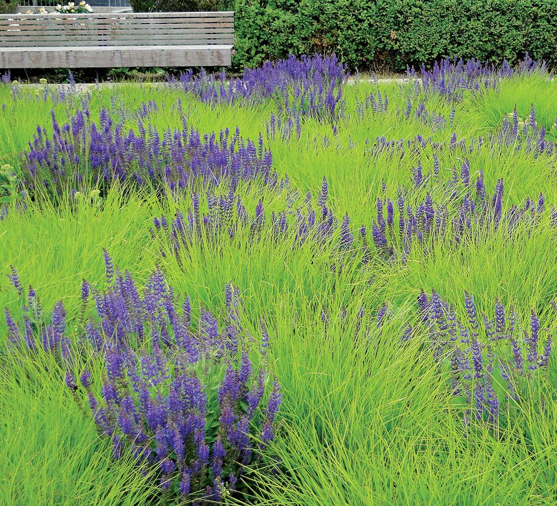 salvia mixed with autumn moor grass