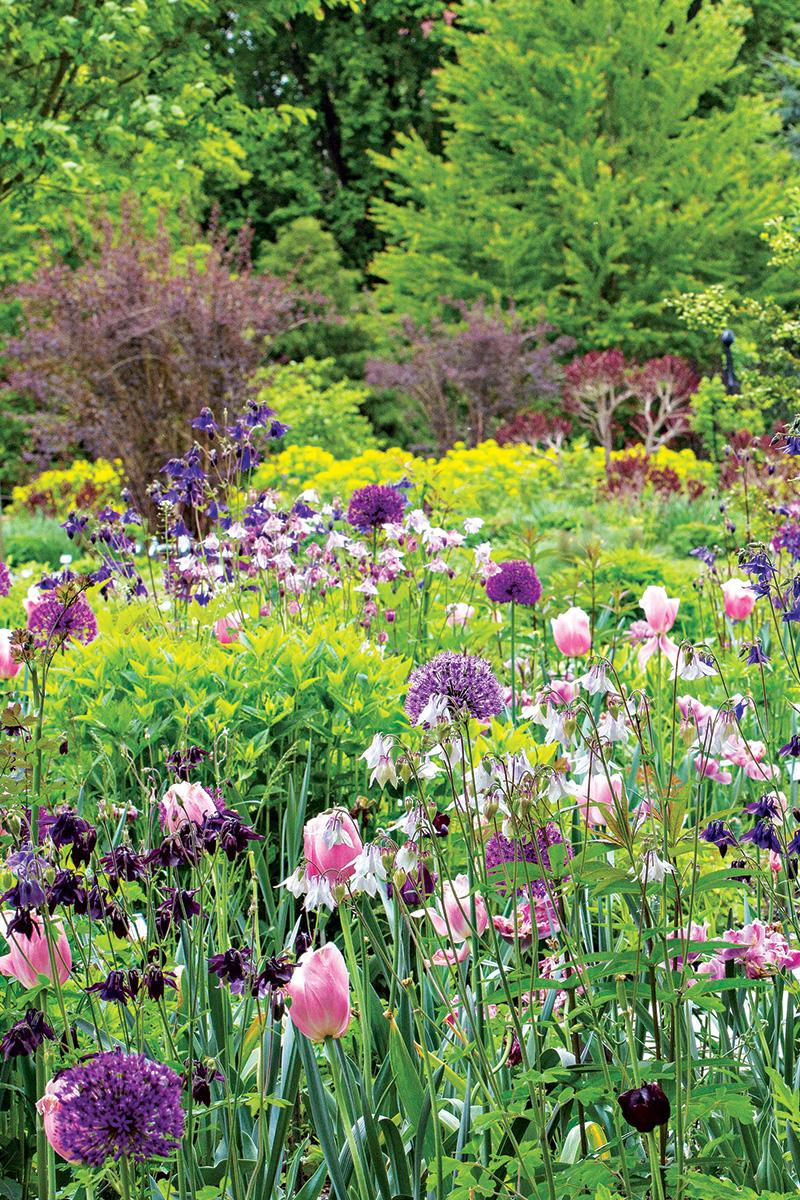 ninebarks among tulips and allium