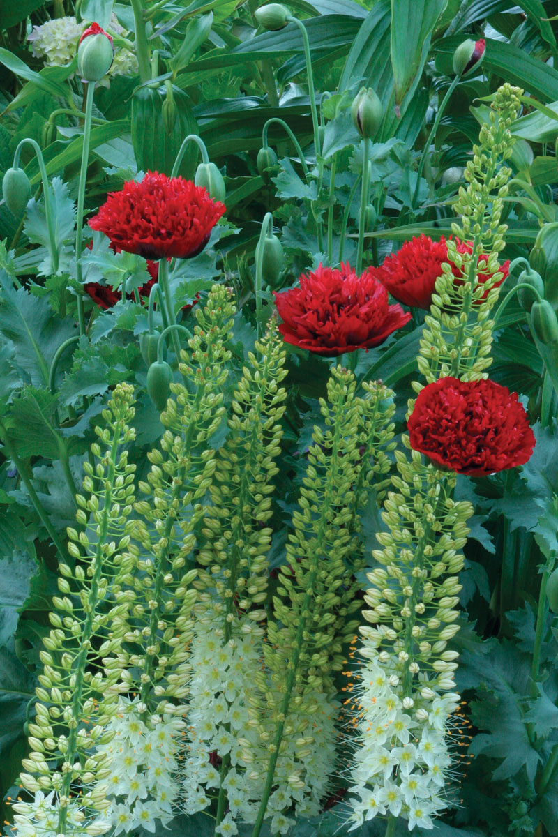 Foxtail lily and 'Scarlet Peony' annual poppy