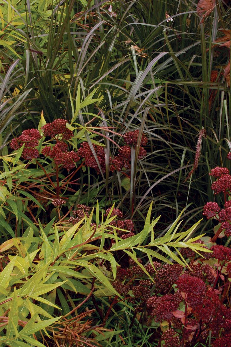 'Ogon' spirea, sedum, and purple fountain grass