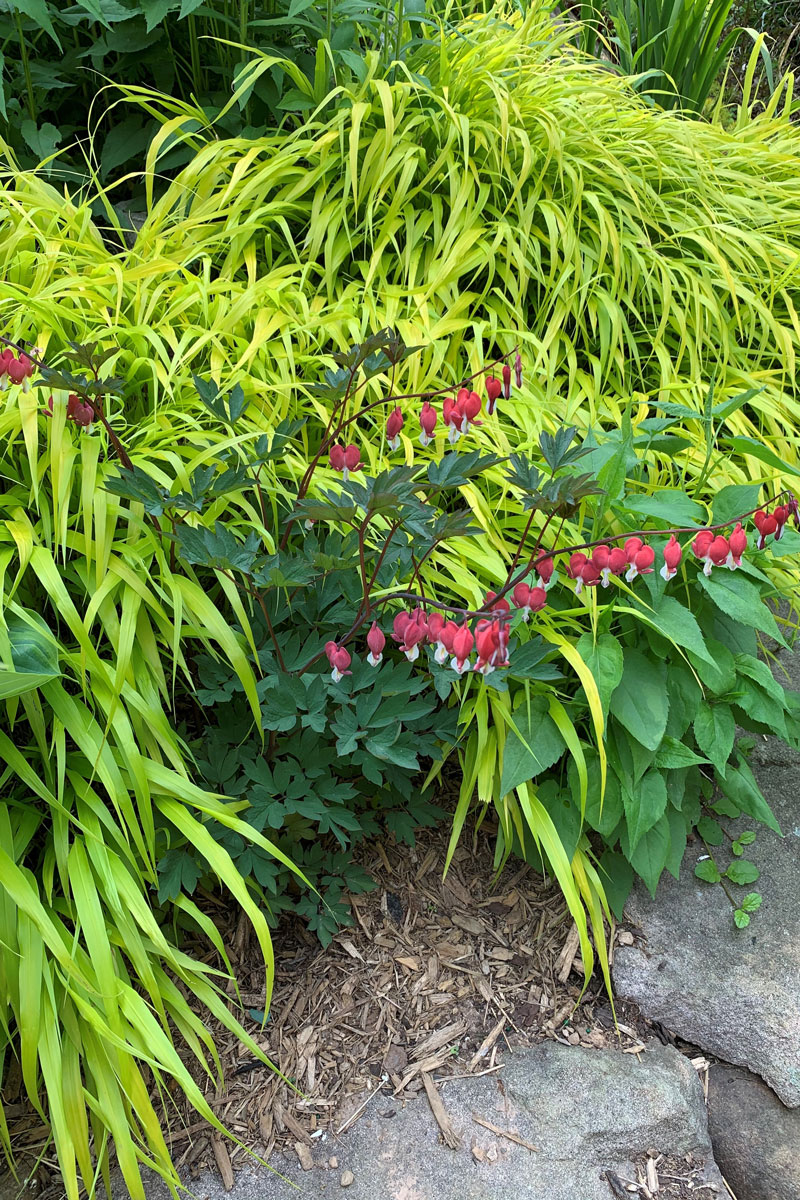 Valentine® bleeding heart and 'All Gold' Japanese forest grass