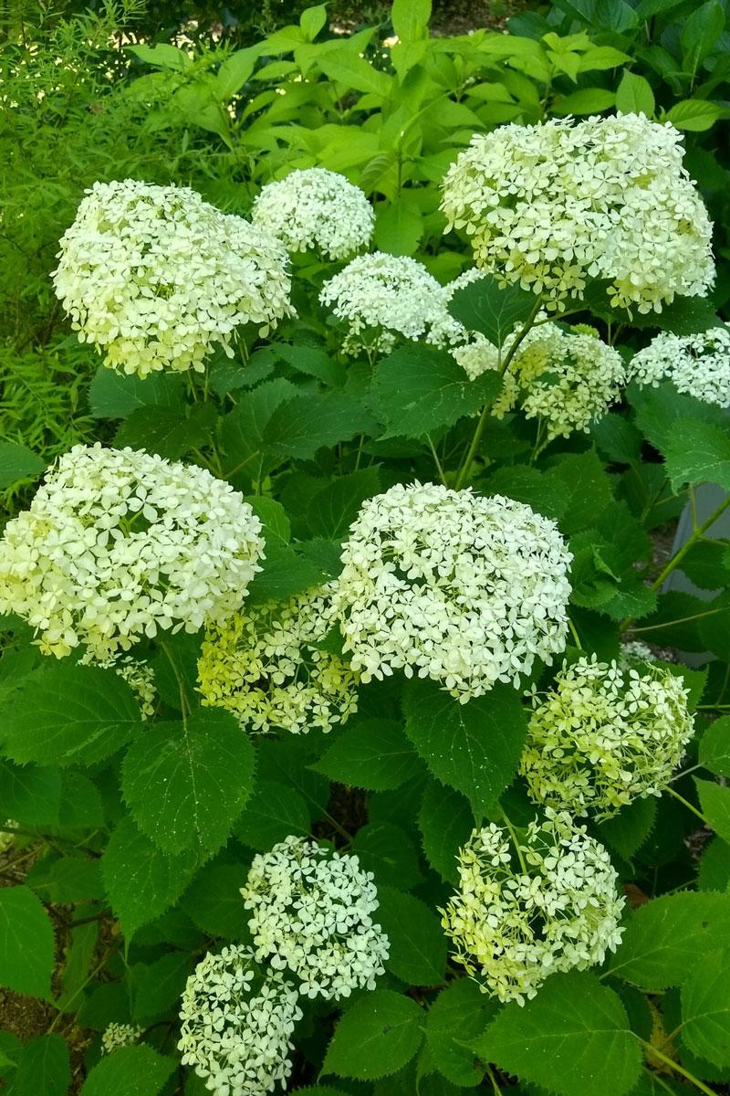 Invincibelle Wee White® smooth hydrangea, 'Golden Angel' Japanese shrub mint, and 'Ogon' spirea