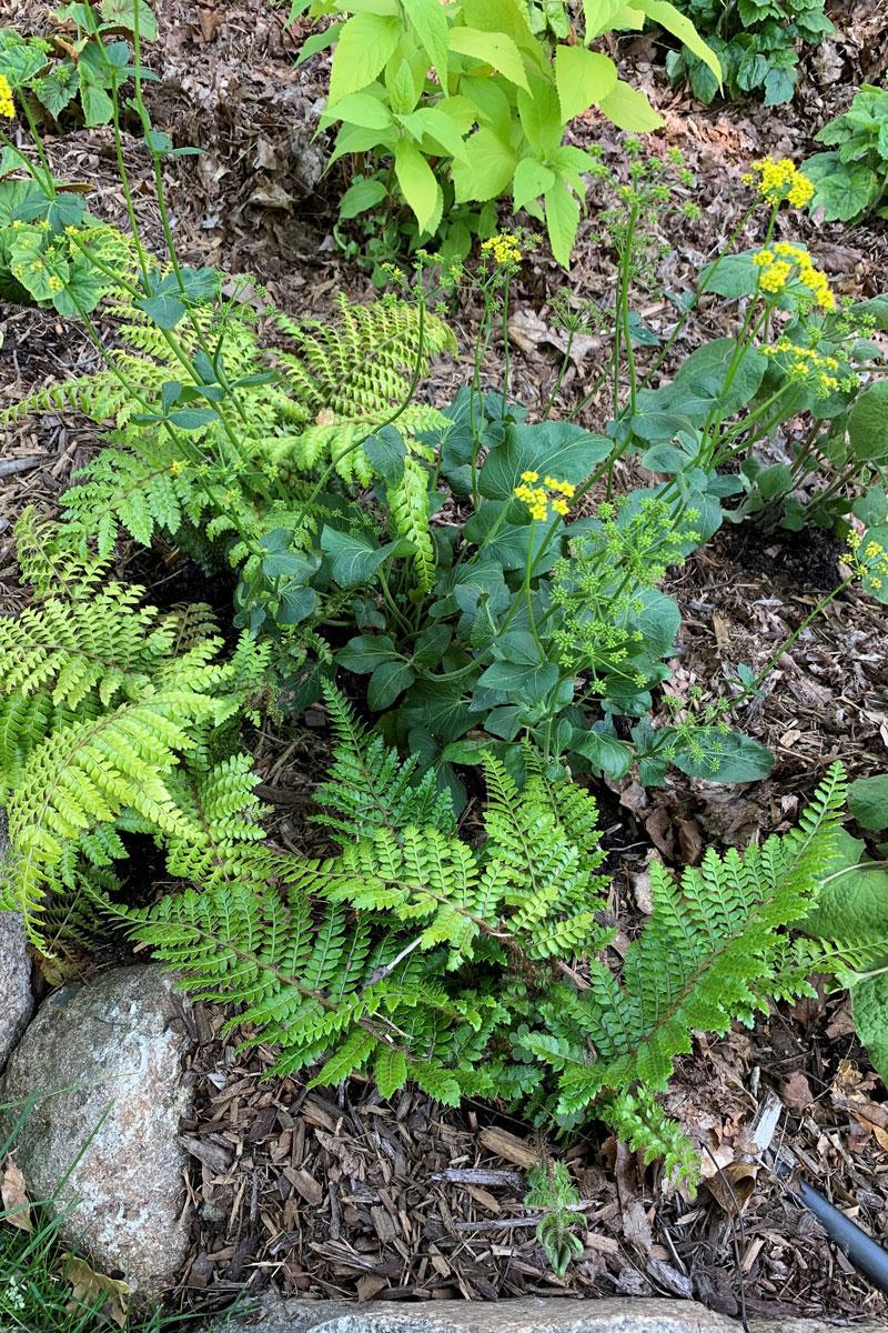 Heart-leaf Alexander and 'Brilliance' autumn fern