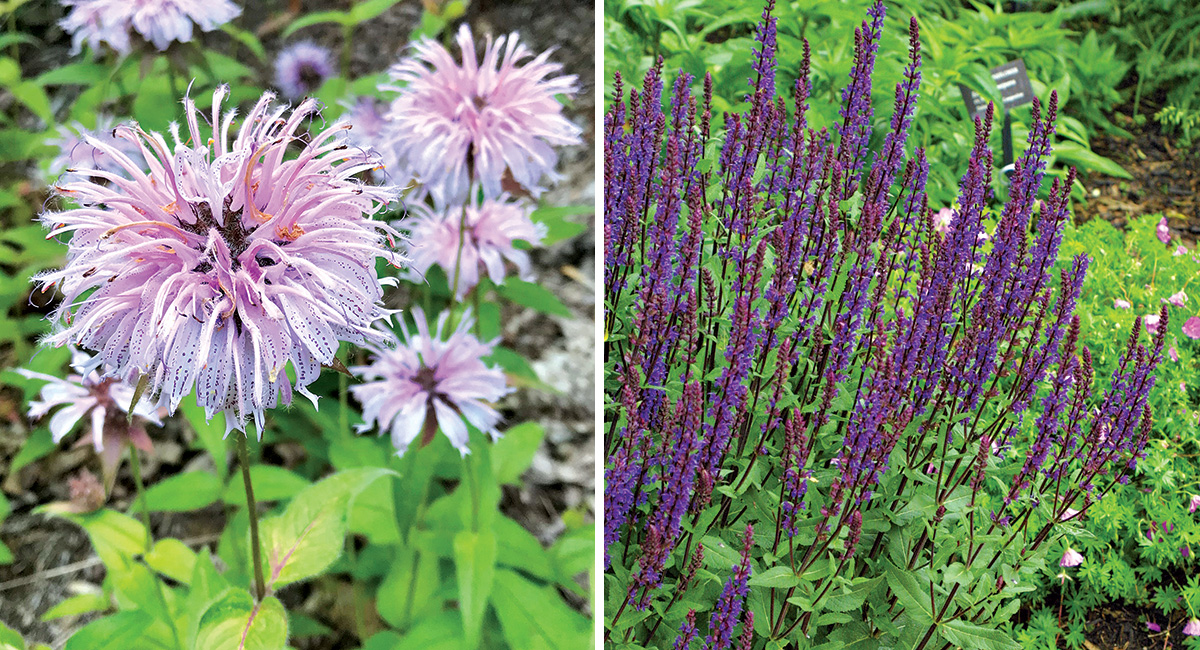 purple plants that bloom in may