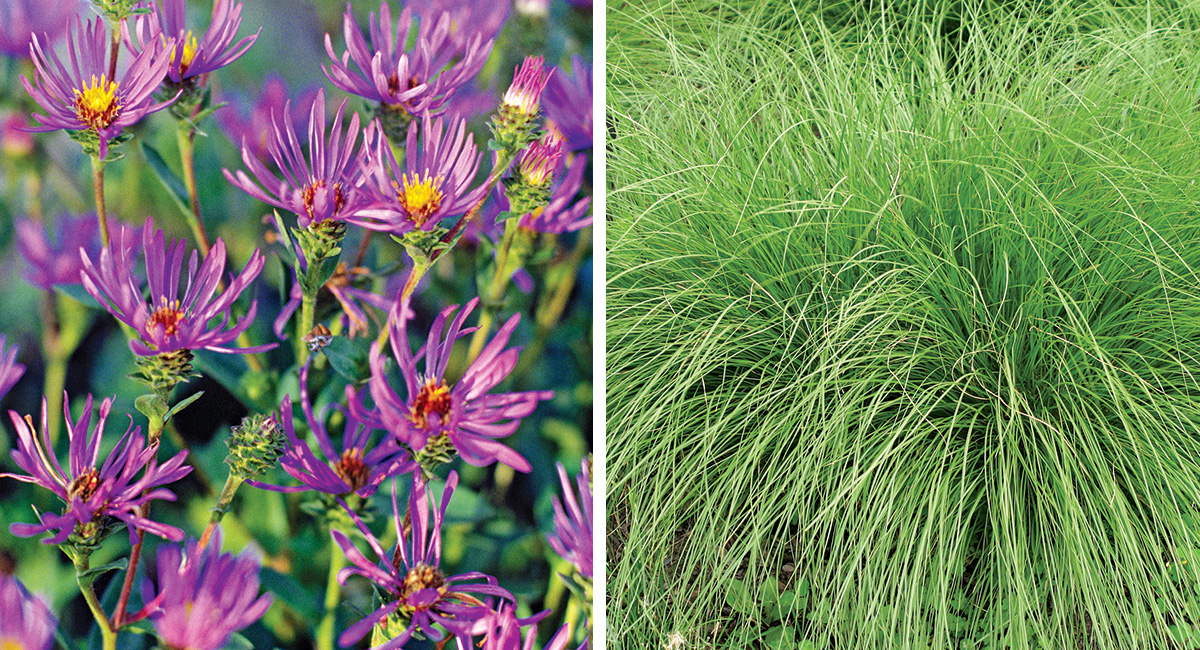 aster and prairie dropseed