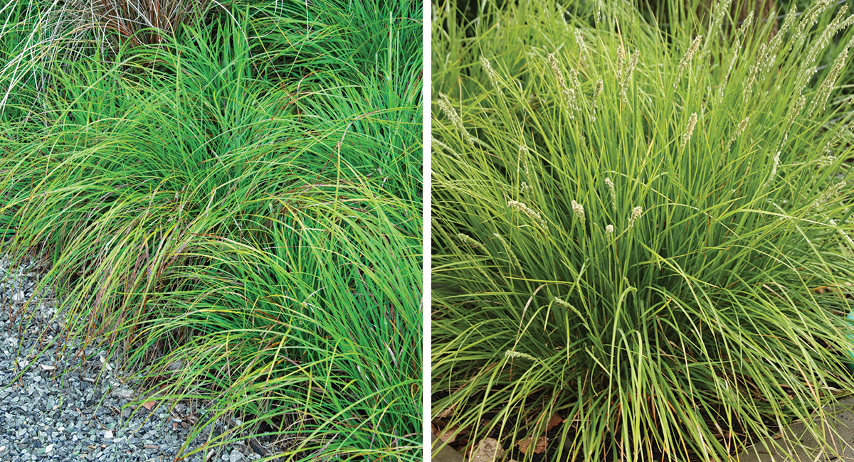 sedge and moor grass