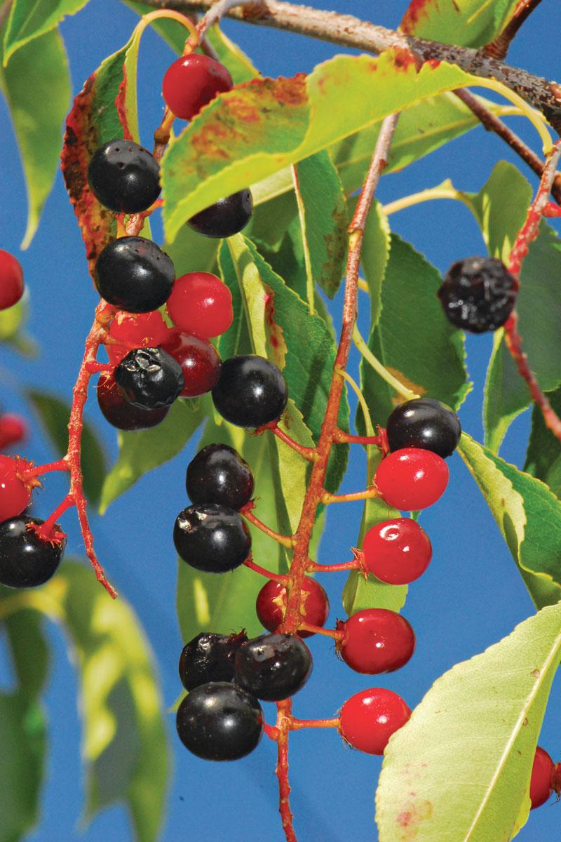 black cherry fruit