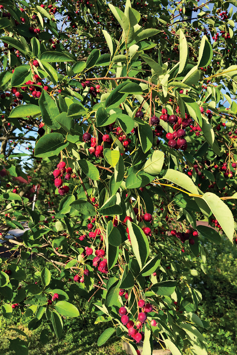 Allegheny serviceberry with fruit