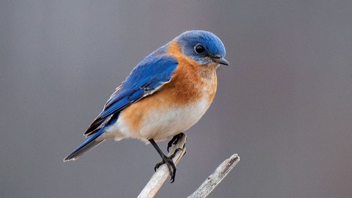 small blue bird on a branch