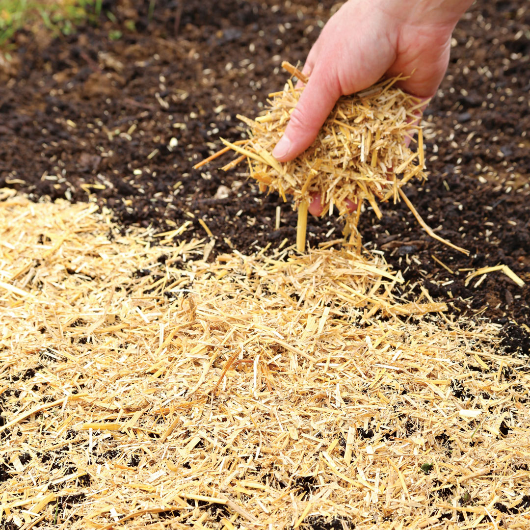 Covering grass seed with a thin layer of straw
