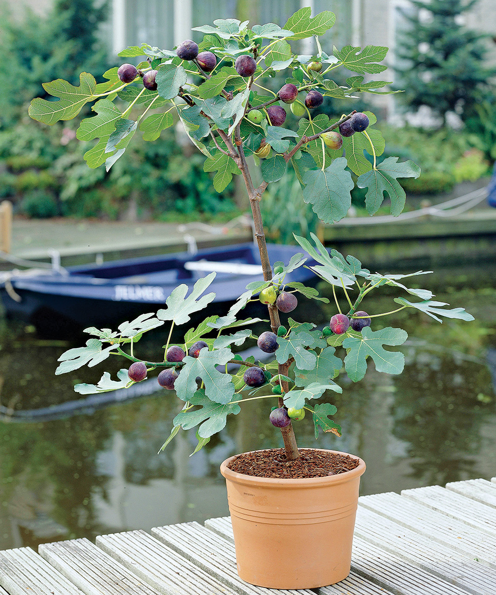 fig tree in a pot