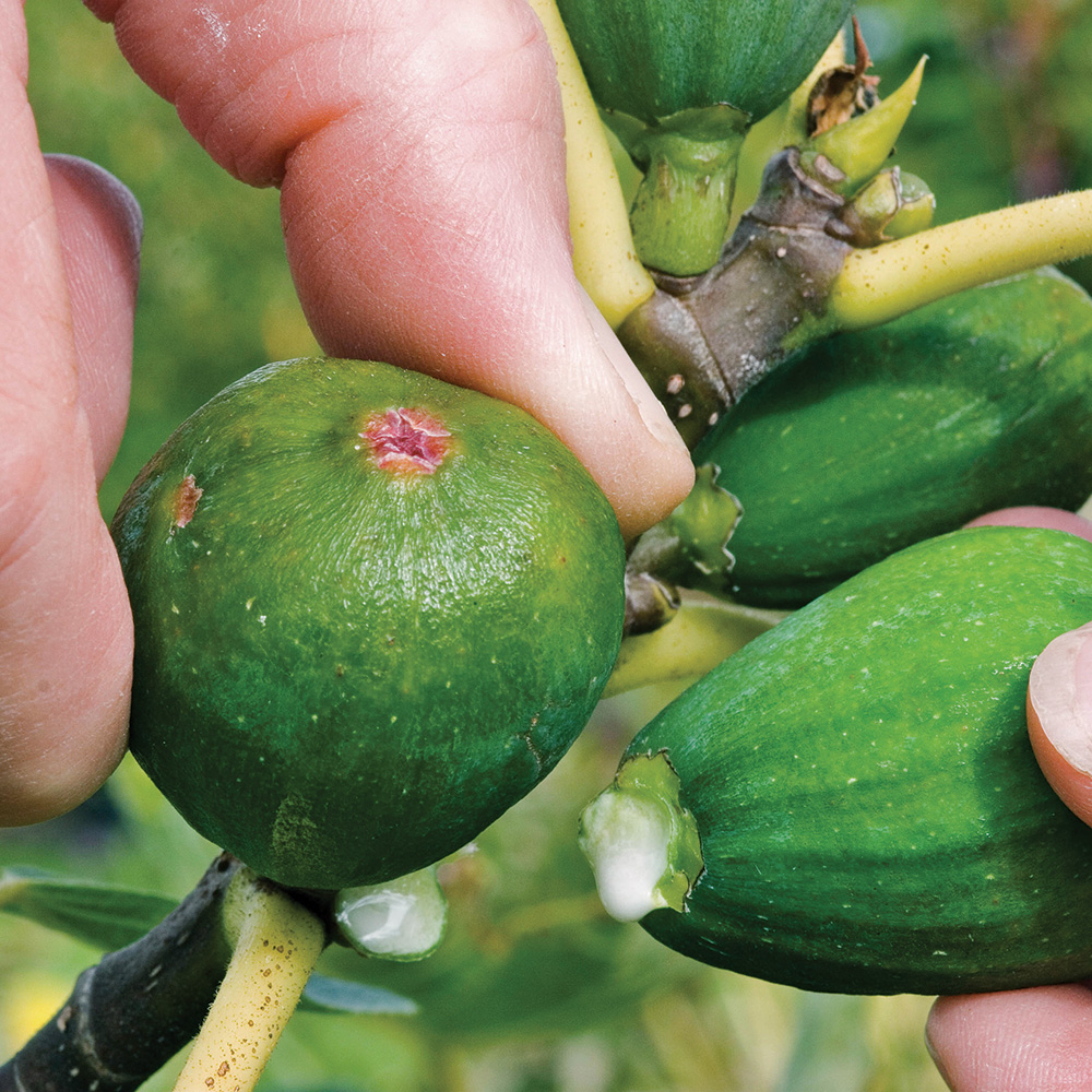 green fig being harvested too early