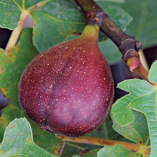 fig varieties to grow