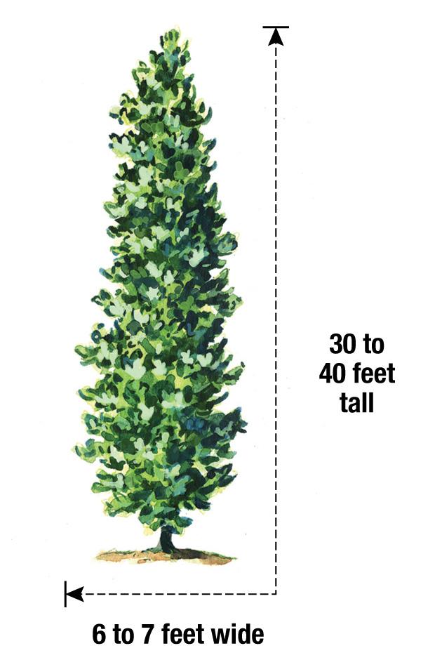 Kindred Spirit oak mature size illustrated