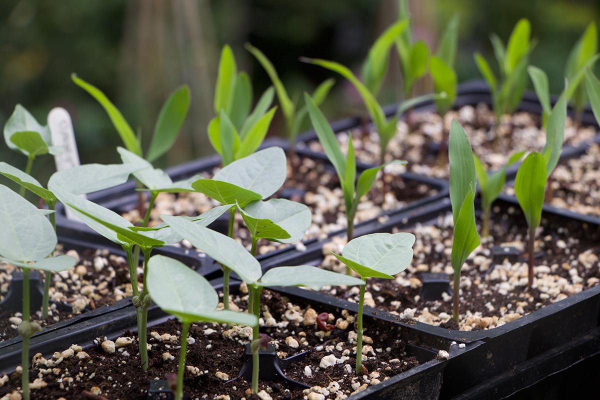 cucumber and corn seedlings