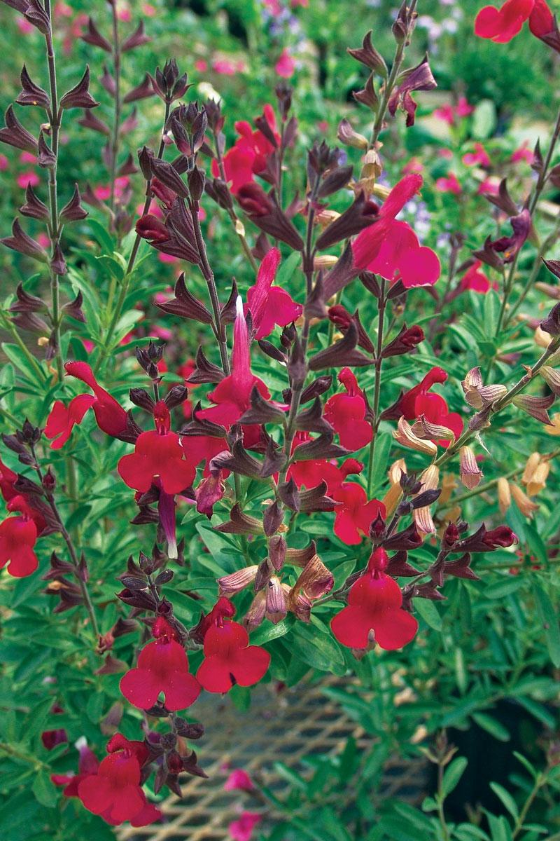 Furmans Red Autumn Sage