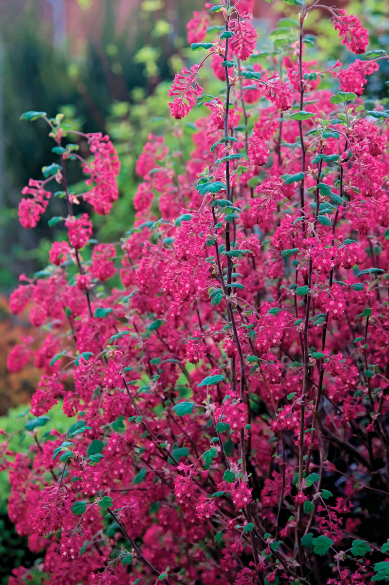 King Edward VII red-flowering currant