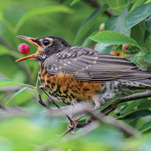 bird eating berry in a tree