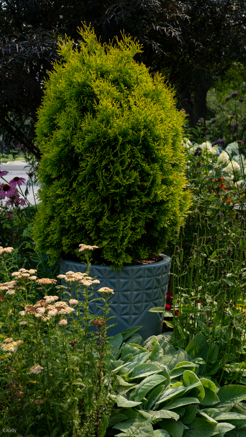 Evergreen shrubs in blue containers
